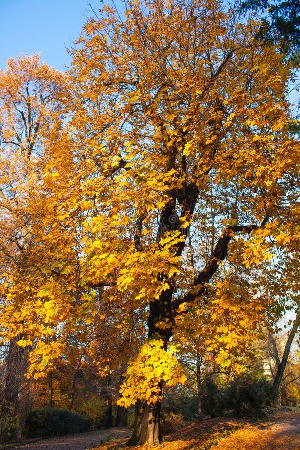 Autumn Nature View, Baum mit Yelow-Gold verlässt in einem Park an einem sonnigen Tag lizenzfreies stockfoto