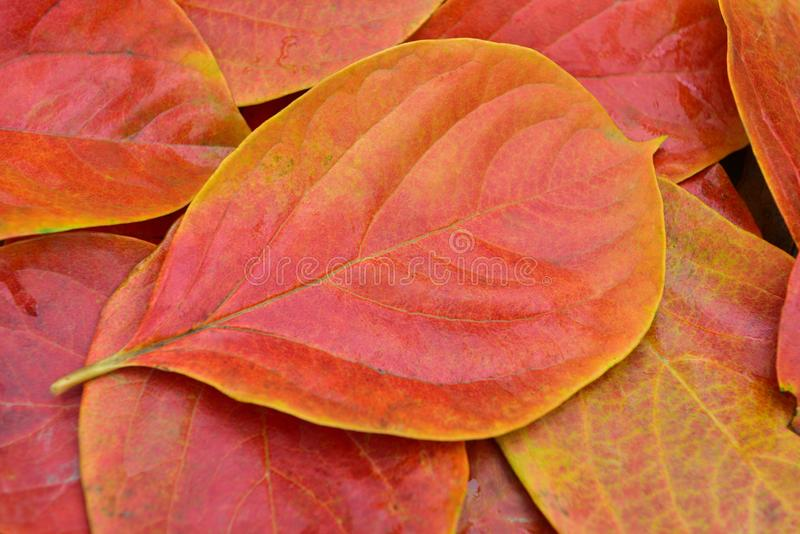 Red and yellow persimmon leaves. In autumn, North China.The persimmon leaves change from green to red and yellow due to the temperature drop royalty free stock images