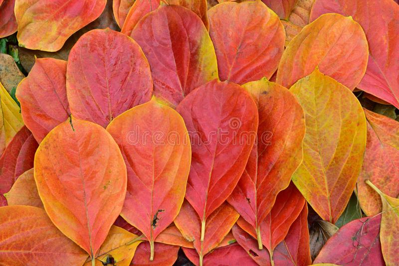 Red and yellow persimmon leaves. In autumn, North China.The persimmon leaves change from green to red and yellow due to the temperature drop royalty free stock image