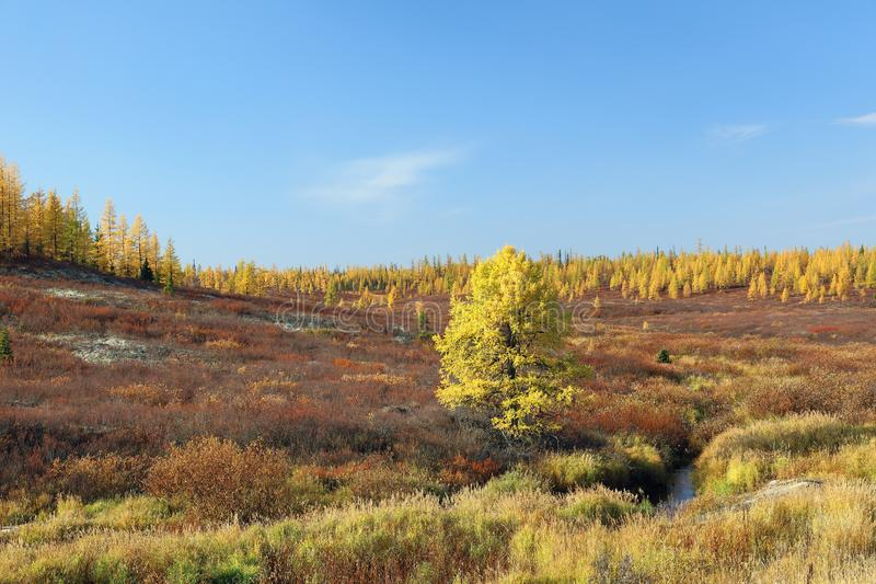 Autumn in the North of Western Siberia in September. Yamal forest tundra on a Sunny autumn day in Siberia stock photos