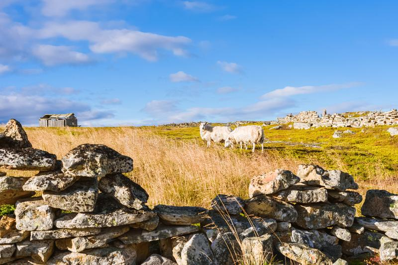 Autumn Norway landscape with two sheep who go to the wooden shelter stock image