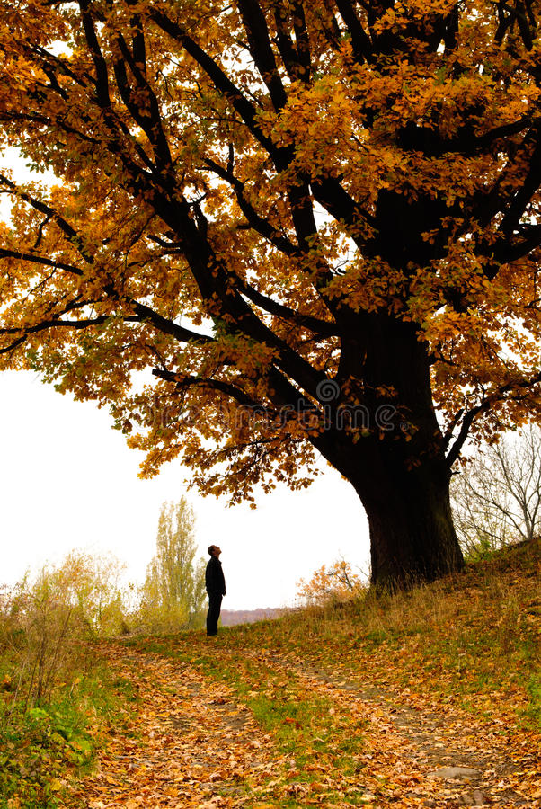 Autumn oak. And yellow falling leves with lonely man stock photography