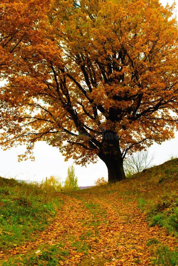 Download Autumn oak stock photo. Image of choise, path, contrast - 21738526