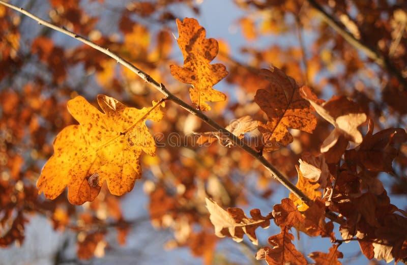 Autumn Oak-bladeren op boom royalty-vrije stock afbeelding