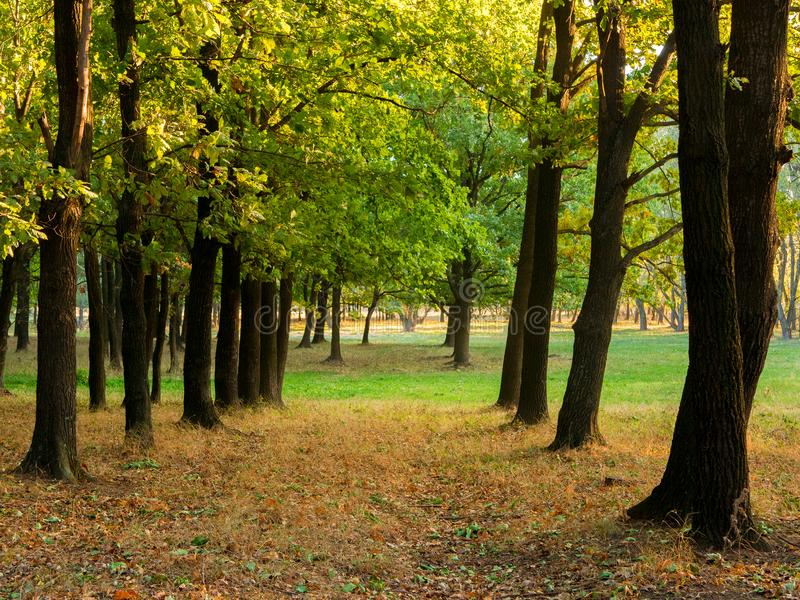 Autumn oak forest. Oak Alley. Autumn landscape. royalty free stock image
