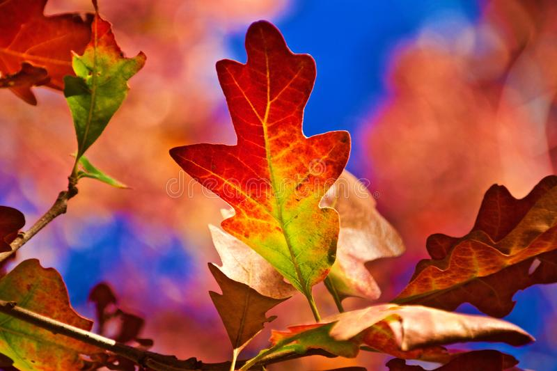 Autumn Oak Leaf Against un ciel bleu photographie stock libre de droits