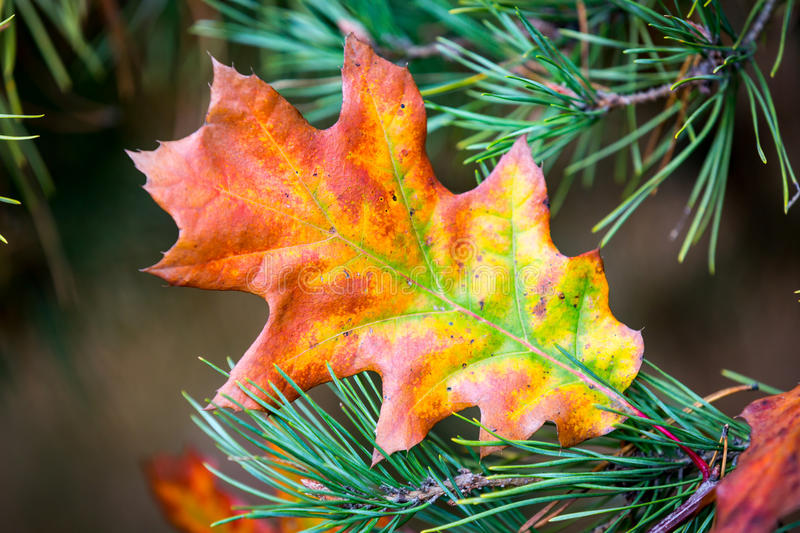 Autumn oak leaf on conifer branch royalty free stock photography