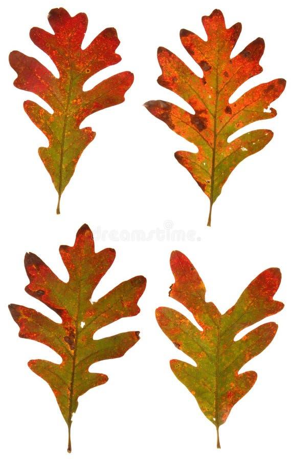 Autumn oak leaves royalty free stock image