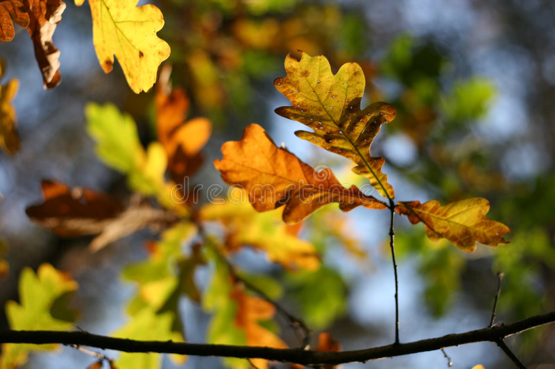 Download Autumn: Oak Leaves Royalty Free Stock Image - Image: 4268036