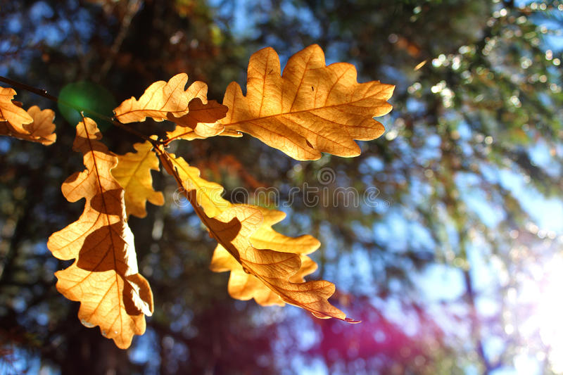 Autumn Oak Leaves fotografia de stock