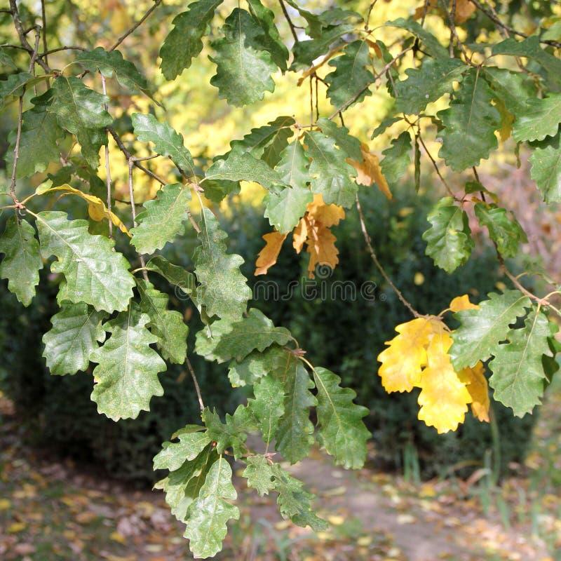 Oak leaves at botanical garden. royalty free stock photo