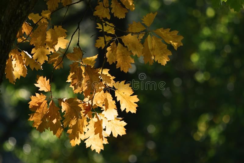 Autumn Oak Leaves royalty free stock photos