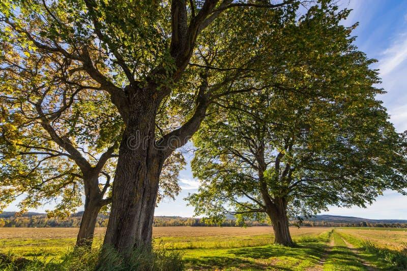 Autumn Oak royalty free stock images