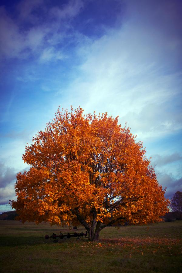An autumn tree with a blue sky in the background stock image