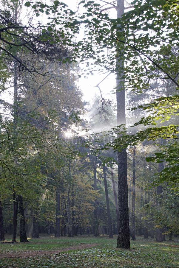 Autumn. October. Sunny morning in the pine forest. Fog and rays of light. Paints of autumn royalty free stock image