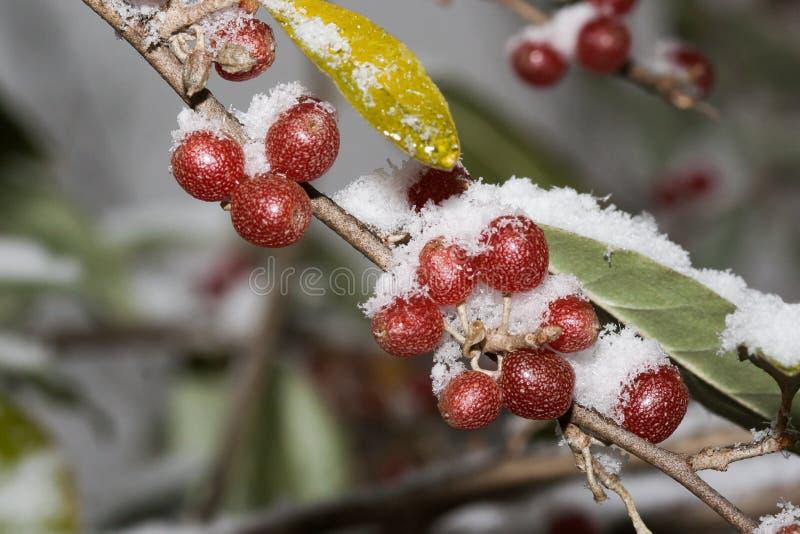 Autumn Olive Berries Elaeagnus Umbellata maturo è sotto neve fotografia stock libera da diritti