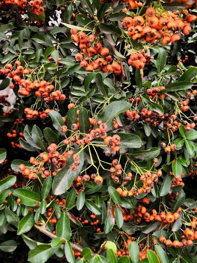 Autumn orange berries on tree branches background. Rowan tree backdrop, closeup of bright rowan berry. Organic autumnal background. Autumn orange green foliage royalty free stock image