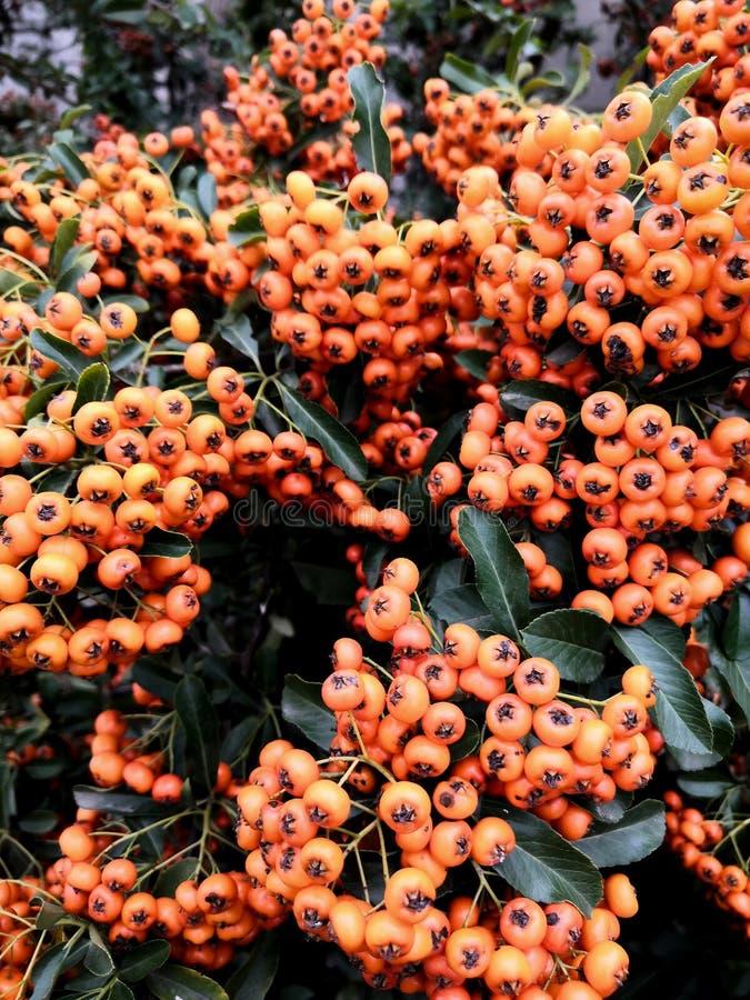Autumn orange berries on tree branches background. Rowan tree backdrop, closeup of bright rowan berry stock images