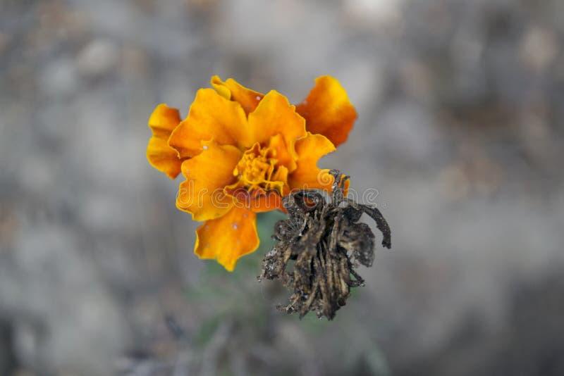 Autumn Orange Flower stockbilder