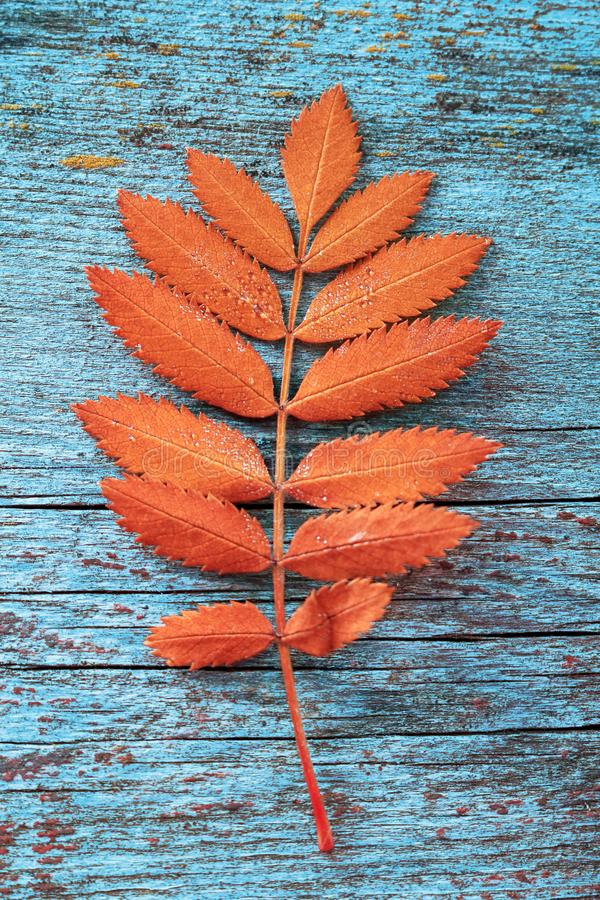 Autumn orange leaf from a mountain ash tree royalty free stock photo
