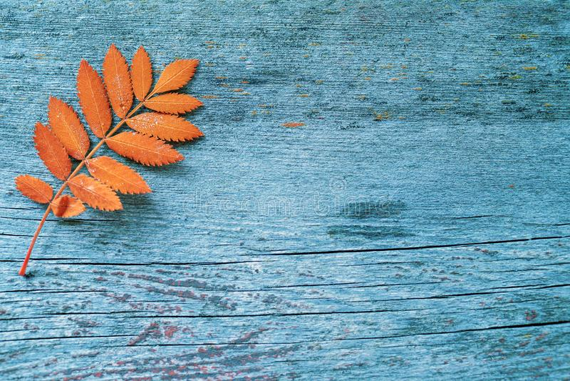 Autumn orange leaf from a mountain ash tree royalty free stock image