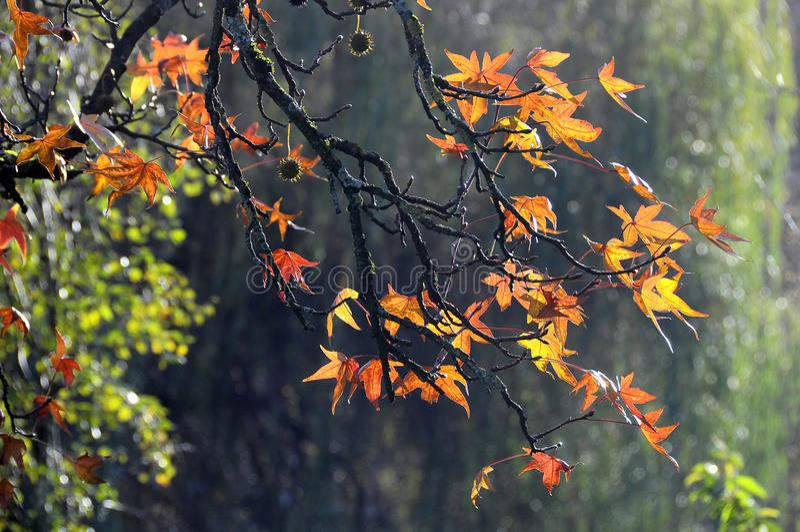 Autumn Orange Leaves fotografia de stock