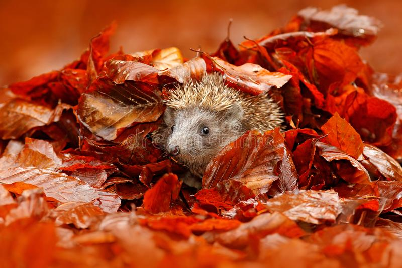 Autumn orange leaves with hedgehog. European Hedgehog, Erinaceus europaeus, on a green moss at the forest, photo with wide angle. royalty free stock images