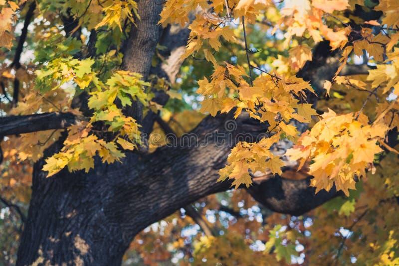 Autumn orange vivid mapple tree leaves stock photo