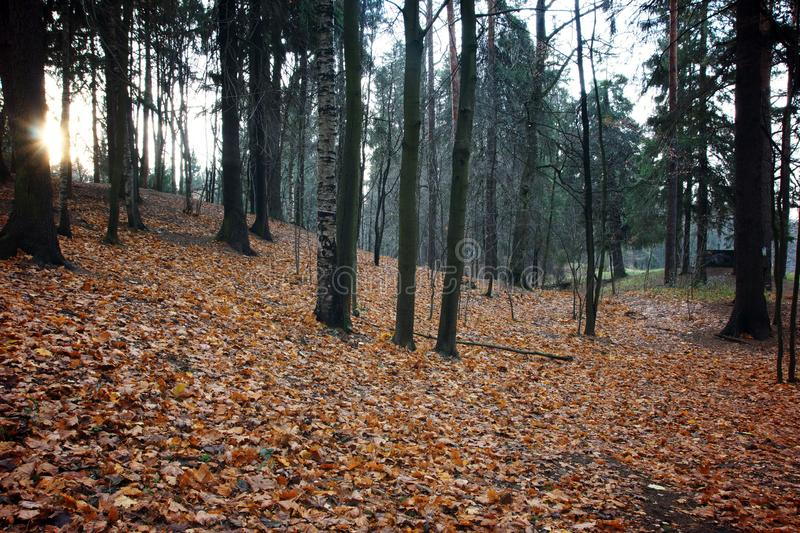 Autumn orange and yellow leaves cover the ground in a park with trees, the sun at dawn peeks from behind the trunks.  royalty free stock photo