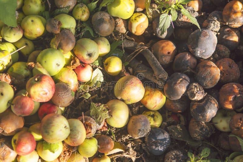 Autumn Organic Fruit Harvest. Very rotten Green, Yellow and Red Apples. Autumn Organic Fruit Harvest. Very rotten Green, Yellow and Red Apples stock image