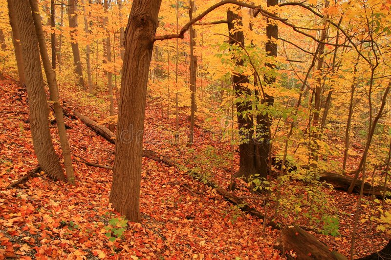 Autumn paints the forest floor in a sea of dazzling orange. The Forest Floor Ablaze in Autumn Colors stock photo