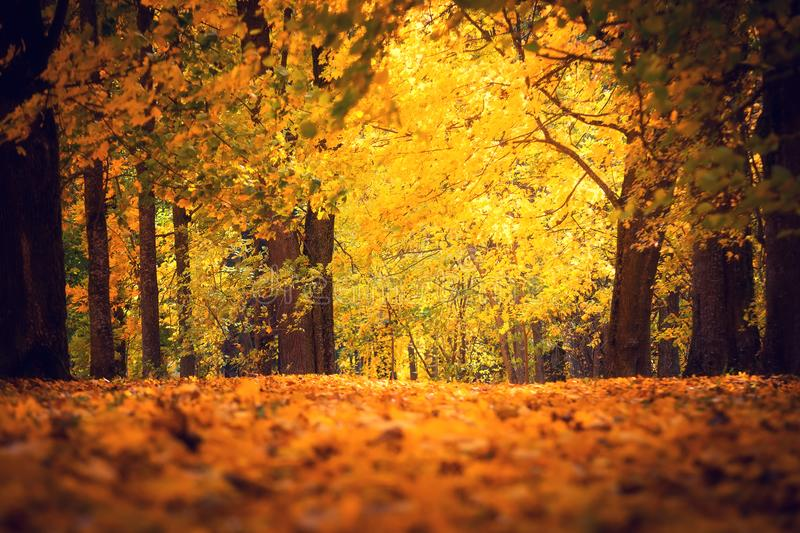 Autumn park. Fall nature. Path covered by yellow red maple leaves. royalty free stock image