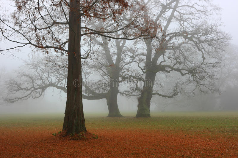 Autumn park in a fog. Metasequoia tree with a fallen red needles and two oaks in the foggy day stock photo