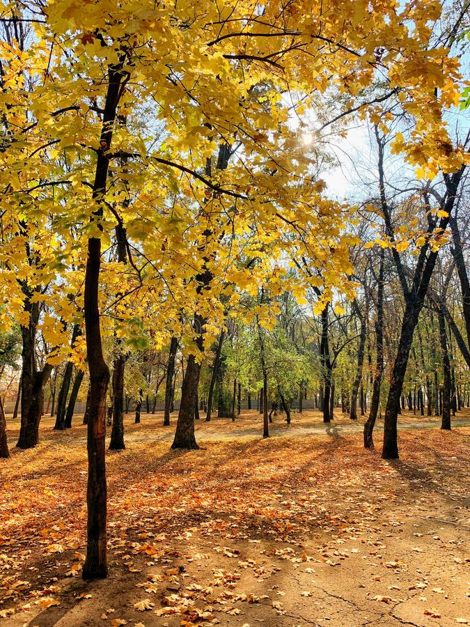 autumn park with golden trees royalty free stock image