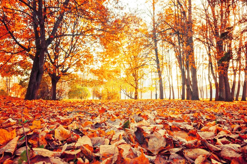 Autumn park landscape - colorful yellowed trees and dry autumn leaves in city park alley. Selective focus at the leaves stock photo