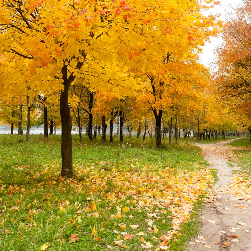 Autumn in the park. Maple trees with yellow leaves near path, fall landscape with maple tree.  stock images
