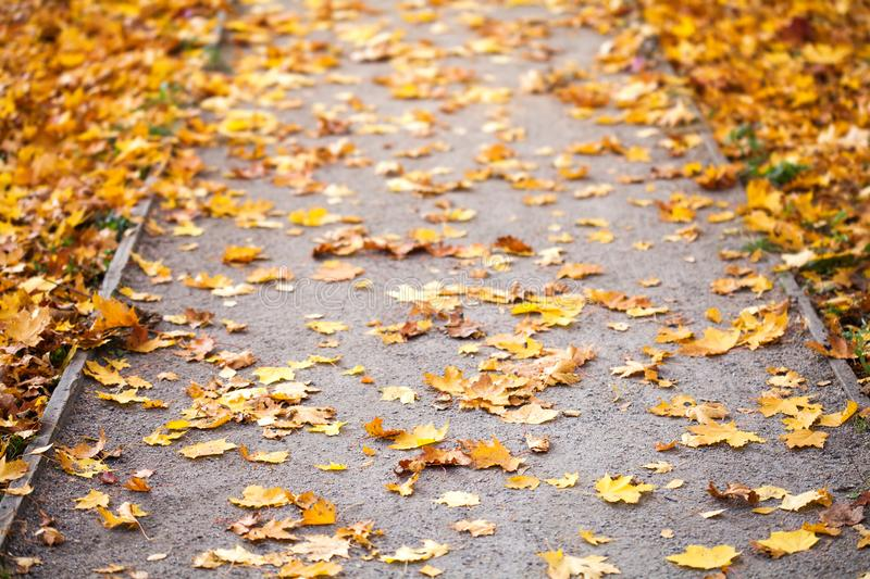 Autumn park path covered yellow maple leaves. Fall alley background. Selective focus royalty free stock photo