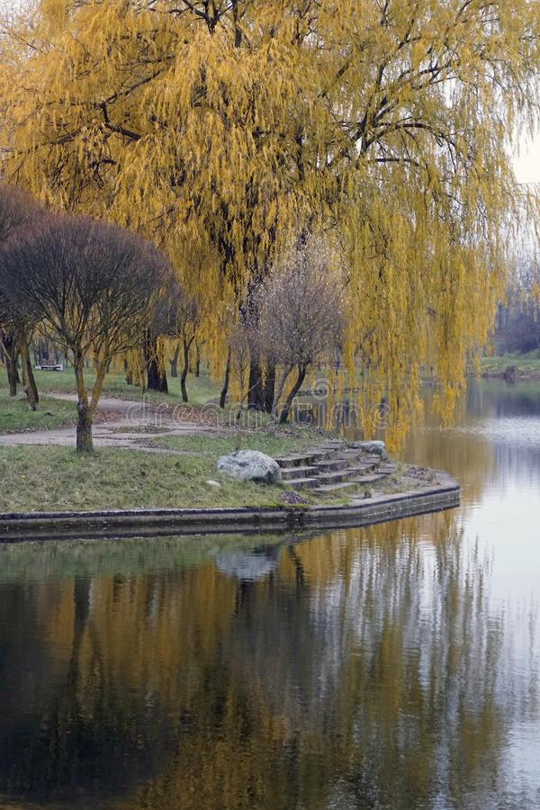 Autumn in the park and pond. November. Golden leaves on weeping willow. Reflection in water. royalty free stock photos