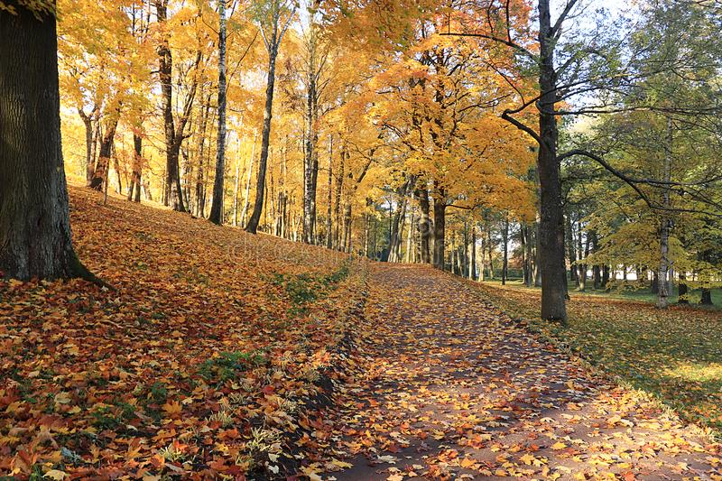 Autumn park in September on a bright warm day, a path with red leaves. Beautiful bright landscape in the park, seasons, golden. Autumn season royalty free stock photos