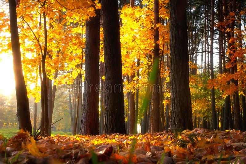 Autumn park. Sunny autumnal forest. Colorful trees in warm sunshine. Fall nature royalty free stock image