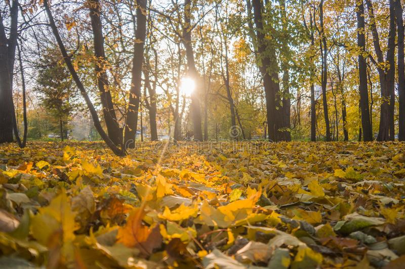Autumn park, yellow fallen leaves from trees, sunny day. Autumn park, yellow fallen leaves from trees, bright sunny day stock photos