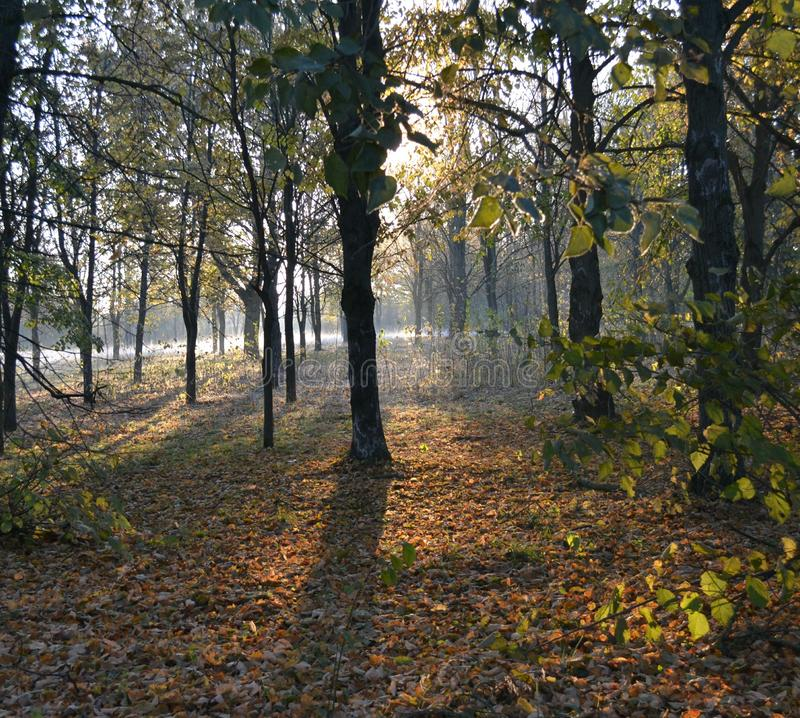 Download Autumn Park With Yellow Leaves In The Early Morning Fog Stock Photo - Image: 83700106