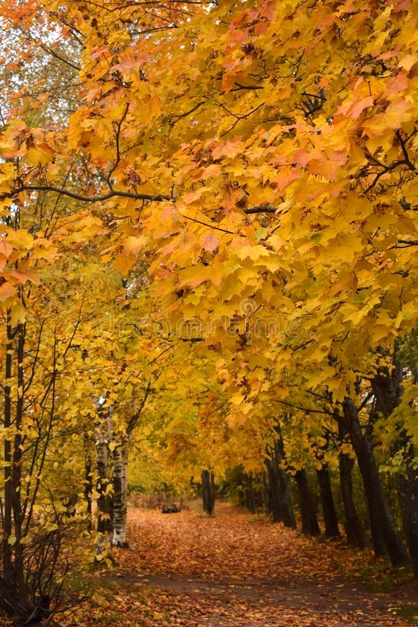 Autumn park with yellow trees along the path. Covered with fallen leaves stock image