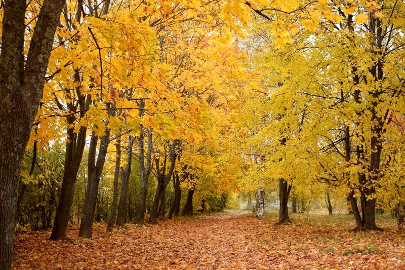 Autumn park with yellow trees along the path. Covered with fallen leaves royalty free stock images