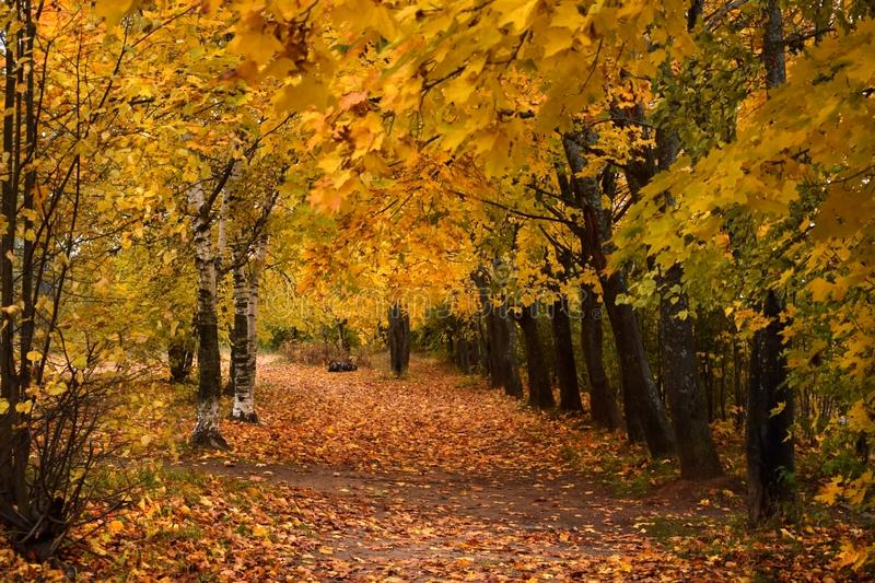 Autumn park with yellow trees along the path. Covered with fallen leaves royalty free stock photography