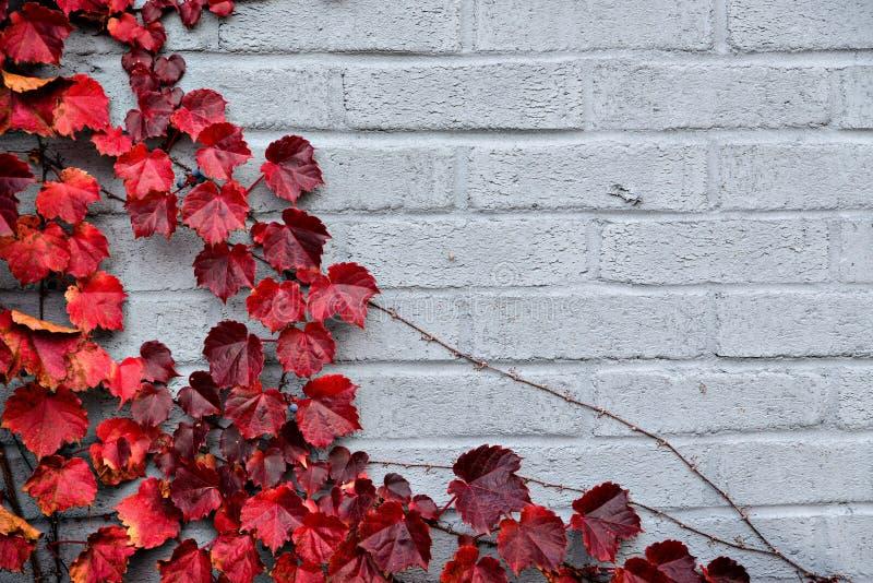 Autumn Partial Border Design - feuilles de raisin rouge image libre de droits