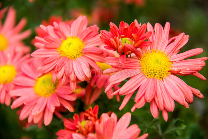 Download Autumn Perennial Orange Aster On A Green Background Stock Photo - Image: 83719059