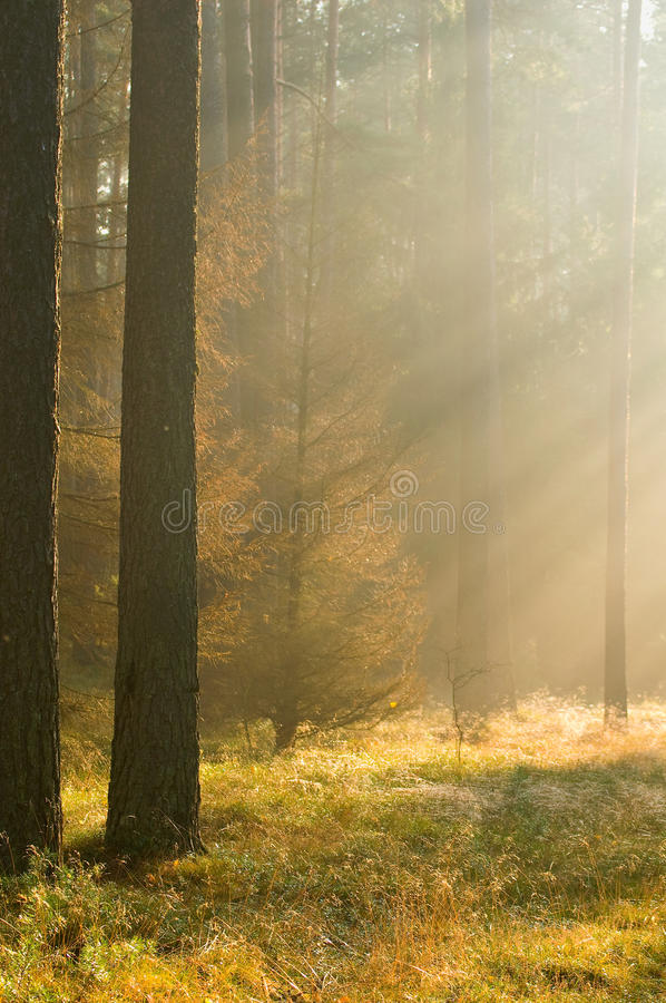 Autumn pine forest royalty free stock images