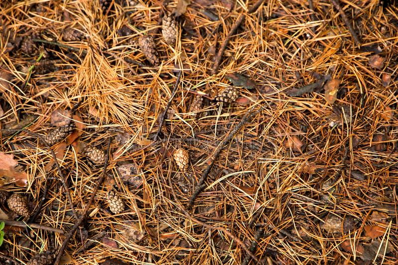 Autumn pine Forest floor texture. Autumn background with pine Forest floor texture royalty free stock photos