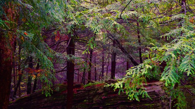 Autumn pine forest beginning of fall folage stock images